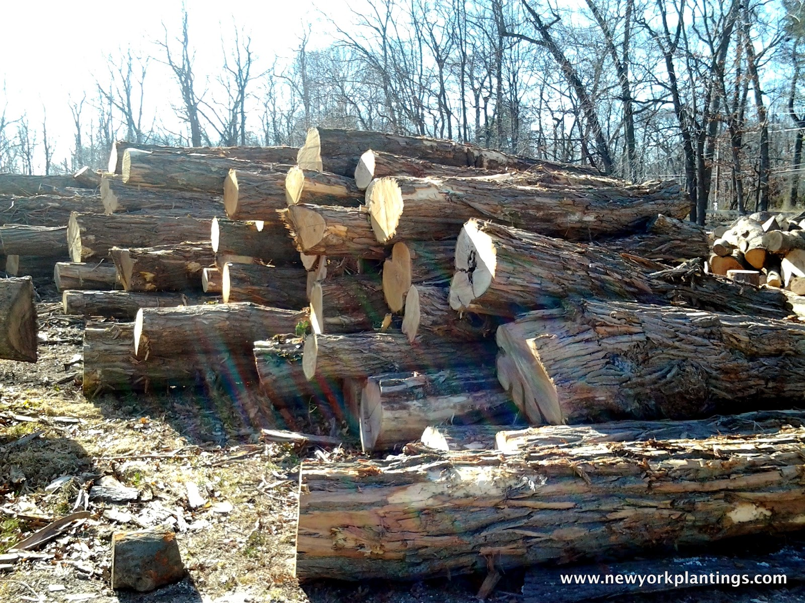 Black locust firewood related keywords