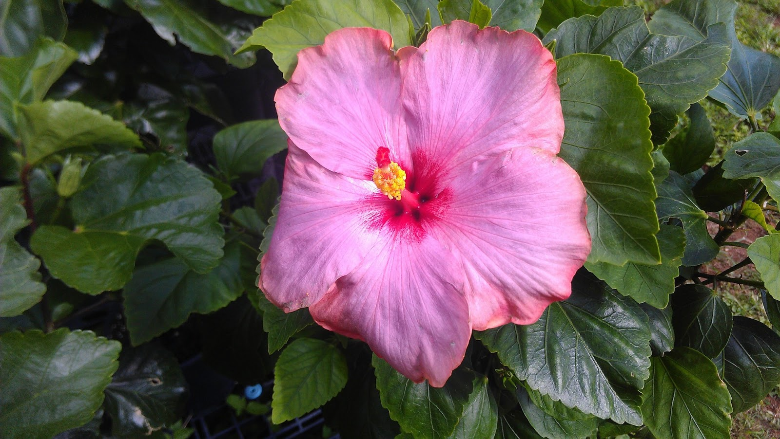 Kapu gardens hibiscus hybrids for sale pinks purples izmirmasajfo