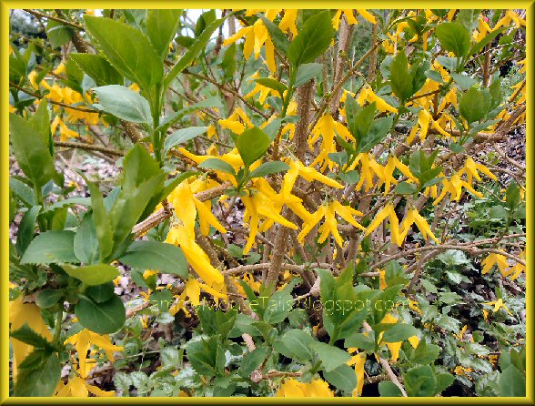 last forsythia star blooms and green lush leaves image