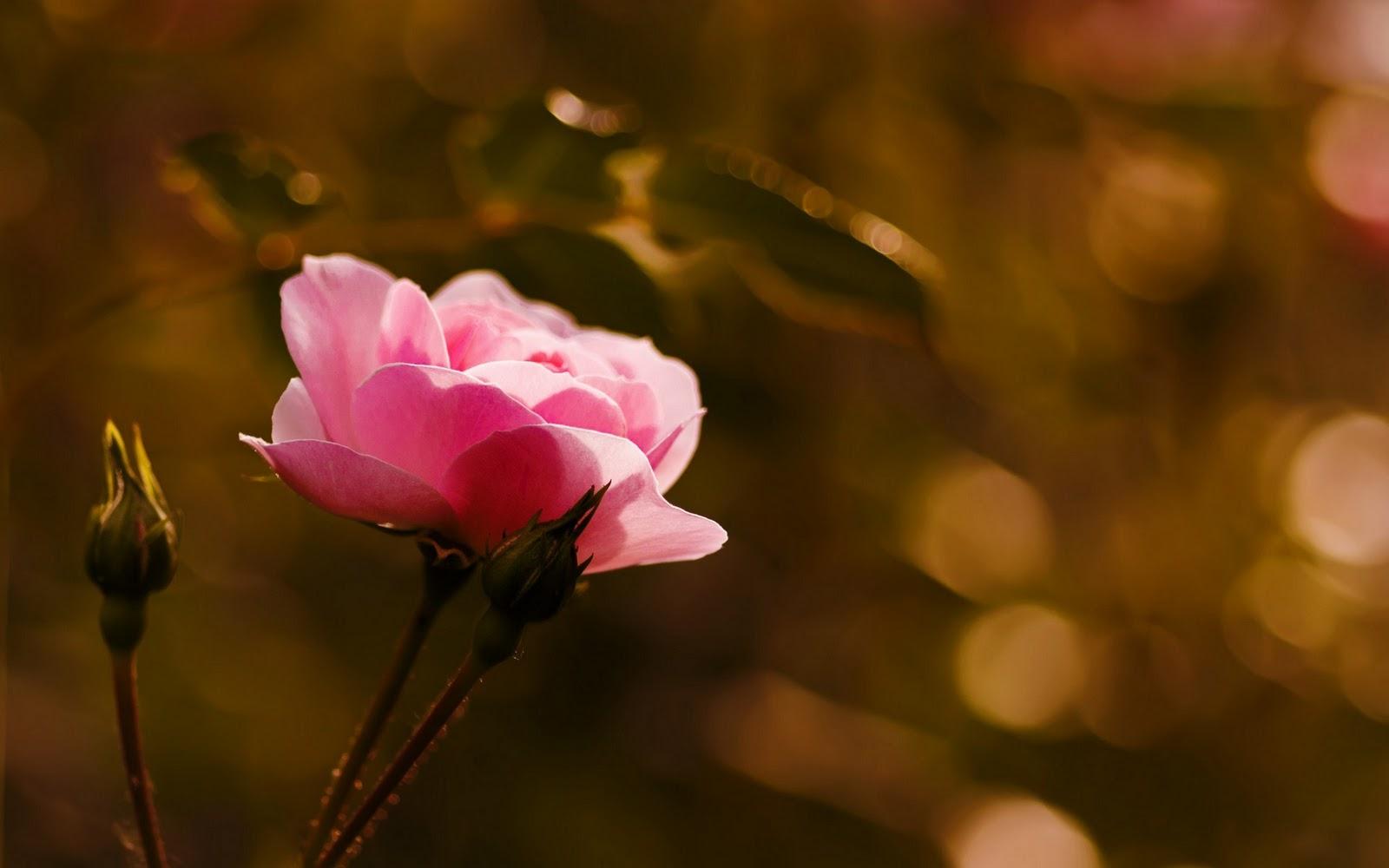 Flower Rose Buds Macro Hd Wallpaper Com 20 Bunga Mawar Hitam Merah