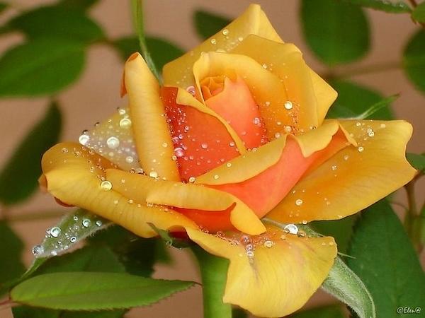 роса на цветах