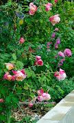 Rosette Delizy (Tea, Nabonnand, 1922) in my garden