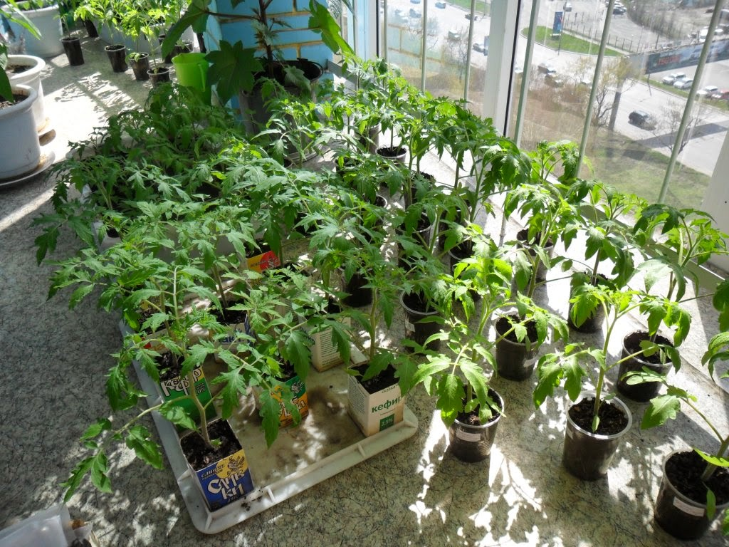 Рассада помидоров подрастает