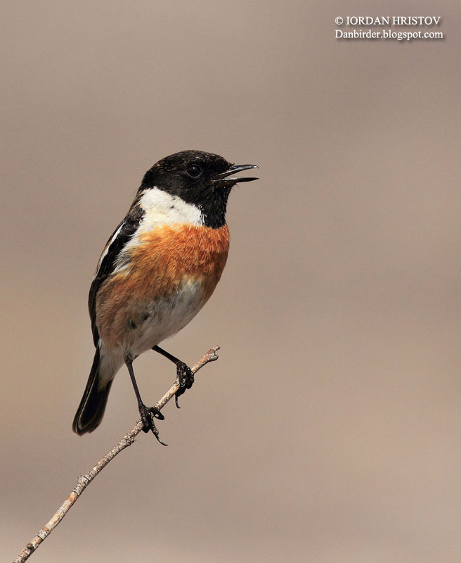Stonechat photography by Iordan Hristov