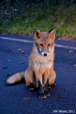 Fox in Hokkaido| 2011-10 | Photo