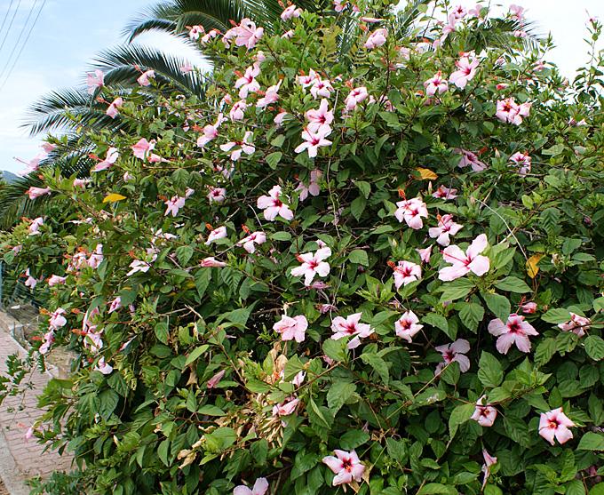 Hortus italicus hibiscus rosa sinensis l 1753 for Hibiscus arbol