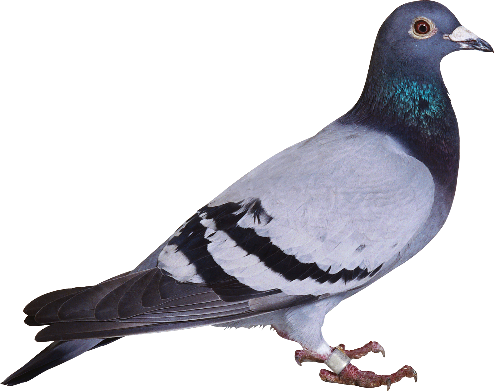 Pidgin, Not Pigeon...
