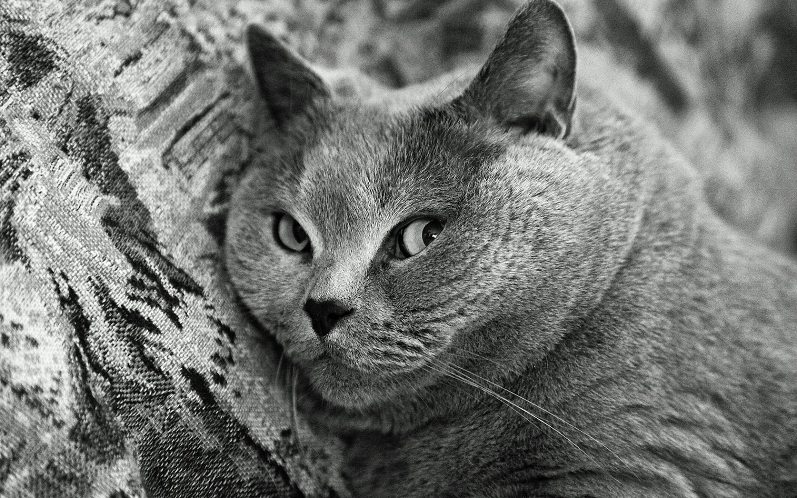 Portrait de British Shorthair chat  gris