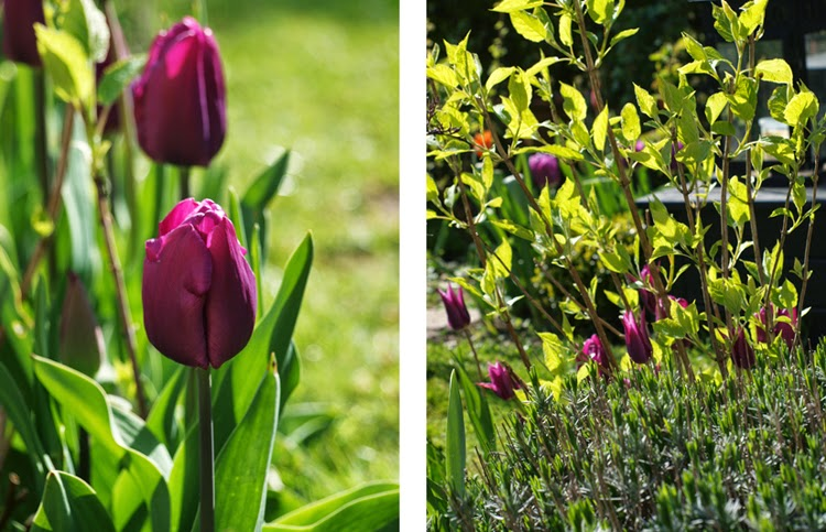 Tulipaner Purple Prince og Maytime blomstrer i haven