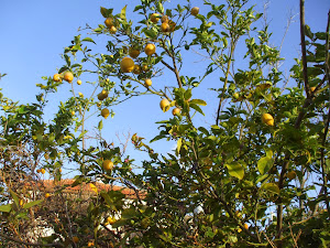 Lemons in their season