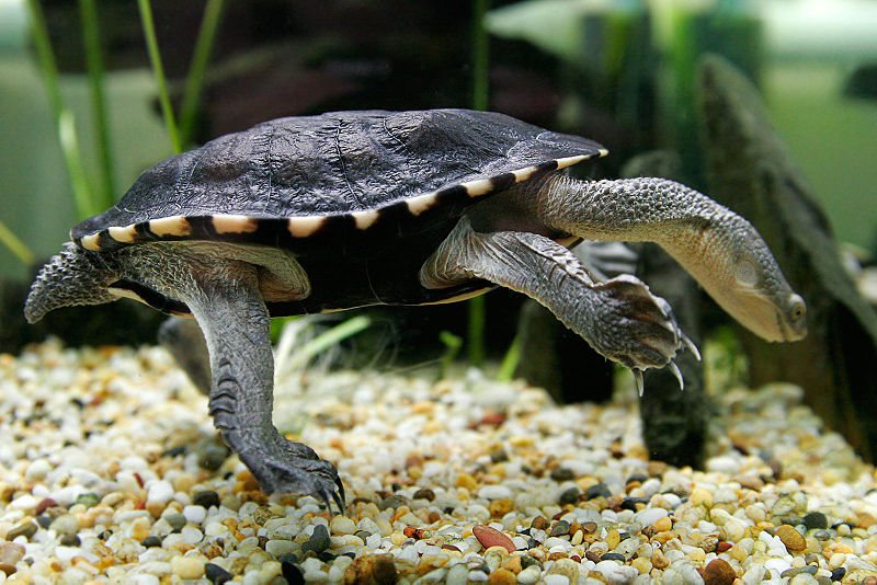 Animal gets its name the eastern long necked turtle has a neck that