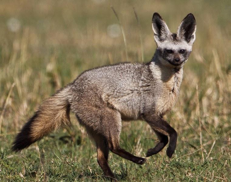 Bat eared fox - photo#6