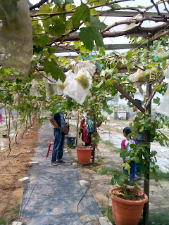 anggur,anggur perak, saloma vineyard and nursery