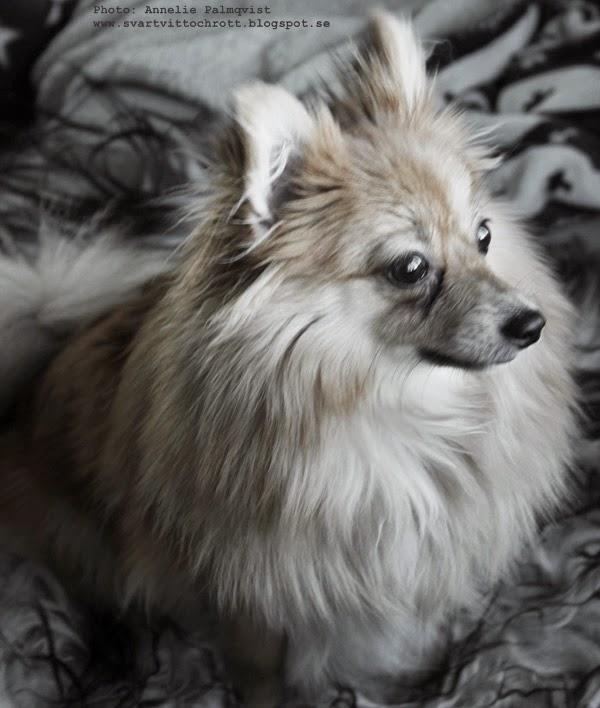 pomeranian, hund, valp, hundvalp, hundar, blandras, blandraser, liten hund,