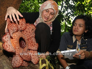 Rafflesia 10 kelopak