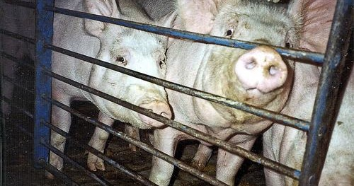 Do factory-farmed pigs know what they are missing?
