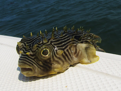 Ricks reel adventures fort pierce fl and some crazy for Puffer fish florida