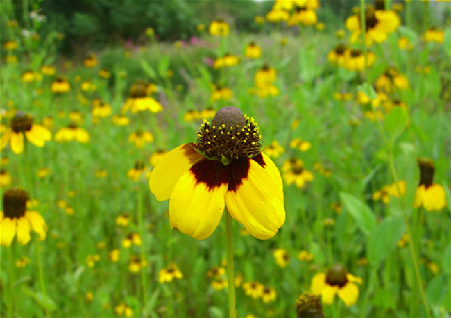 Clasping Coneflower Pictures