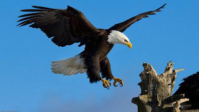 Águila volando hacia su nido