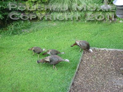 Picture of four wild turkeys