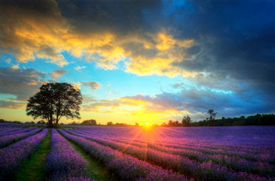 Campos de lavanda al amanecer - Paisajes para recordar - Beautiful image of stunning sunset with atmospheric clouds and sky over vibrant ripe lavender fields in English countryside landscape