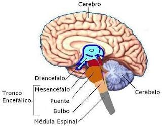Sistema nervioso – sensibilidad térmica y algésica