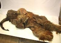 mamut rojizo hallado en buen estado