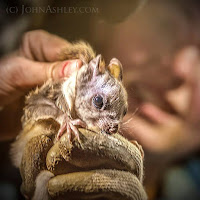 Northern flying squirrel (c) John Ashley