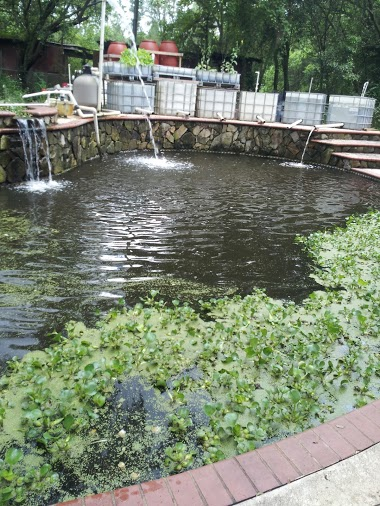 Adventures of a homesteading city girl tilapia day for Raising tilapia in a pool