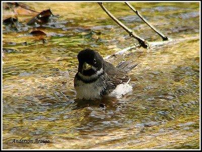 coleiro tomando banho no rio linda imagem