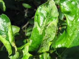 Leaf Miner – a repost about citrus trees pests