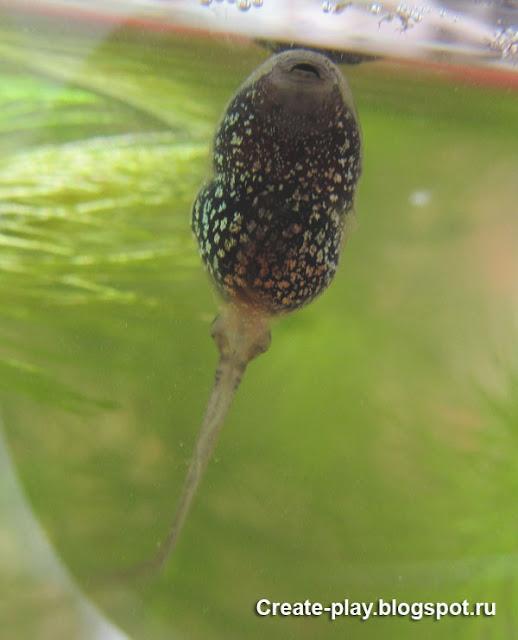 выращиваем лягушку из головастика