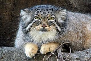 Gambar : Kucing Comel Yang Jarang Anda Lihat
