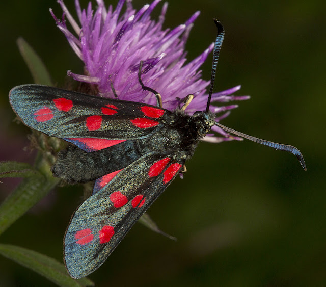 Six-spot Burnet, Zygaena filipendulae stephensii. High Elms Country Park, 2 August 2012.