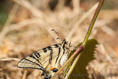 Coada randunicii Segelfalter Scarce Swallowtail Flambé Kardoslepke Iphiclides podalirius