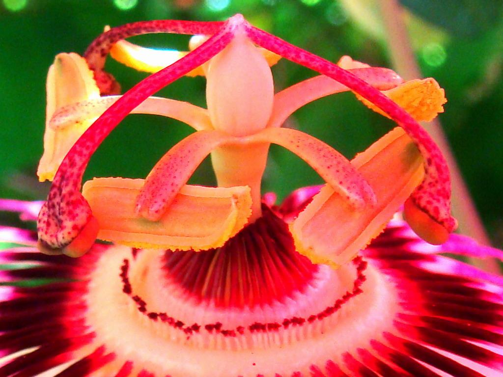 Magično cveće! Passion+Flower+2