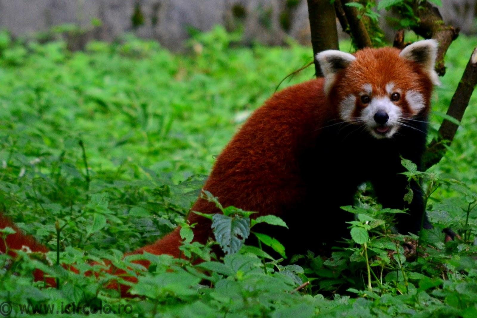 http://1.bp.blogspot.com/-_iCx8kSDNnc/UEbV6FshTgI/AAAAAAAAEjA/_RP0i5ppnx4/s1600/Darjeeling_Zoo_Himalaya_ici-colo_DSC_0015_cr.jpg