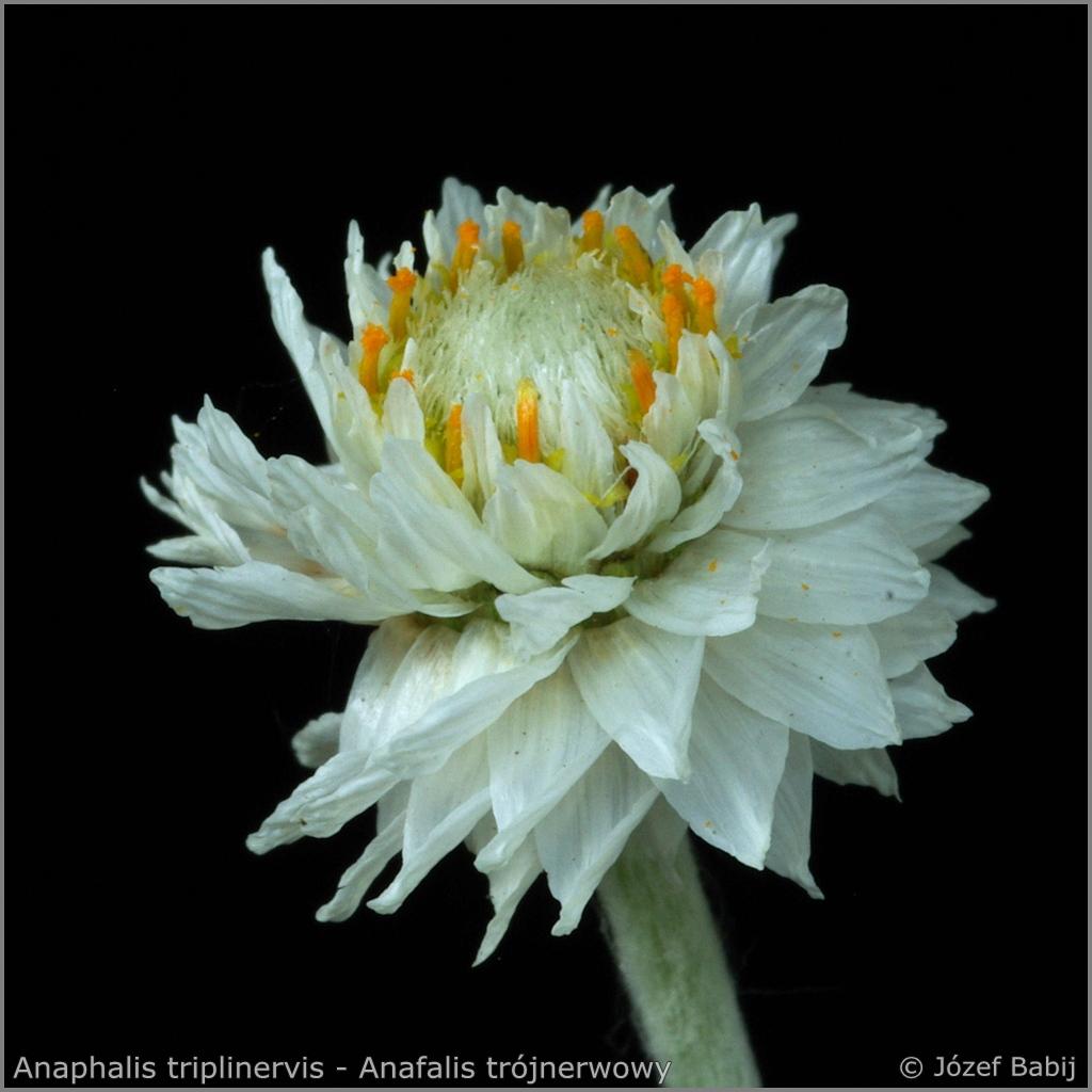 Anaphalis triplinervis flower - Anafalis trójnerwowy   kwiat