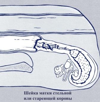 Воспроизводство и гинекологические заболевания коров: Искусственное осеменение коров