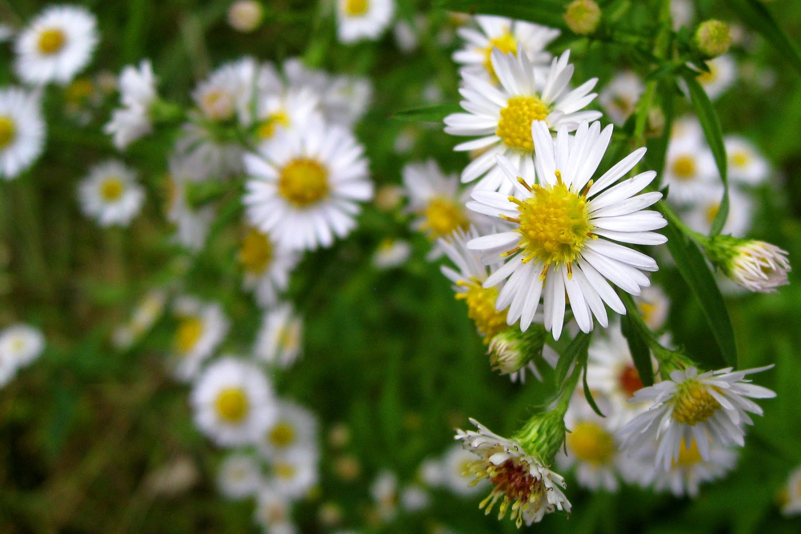 "Image ""White_Heath_Aster.jpg"" courtesy of K. R. Smith - www.theworldofkrsmith.com - may be used with attribution"