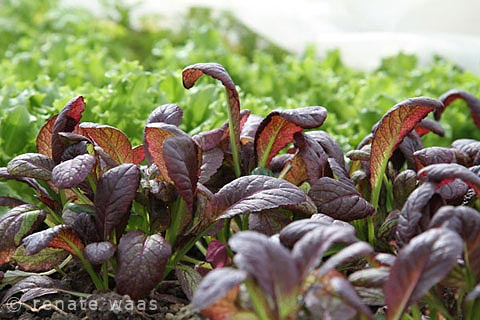 sehr früh im Jahr kann man Asia-Salate als Pflücksalat ernten