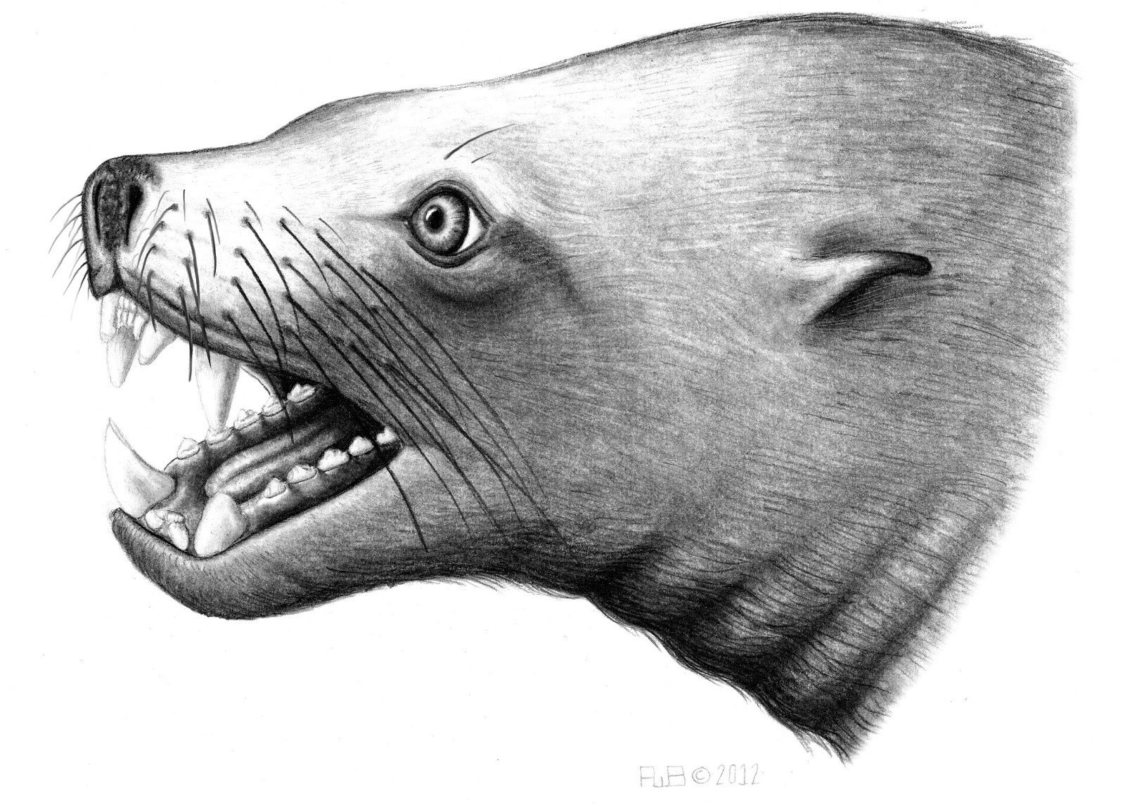 Stellers sea cow  Wikipedia