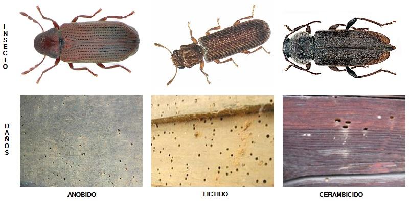 Edificatoria for Carcoma o termitas