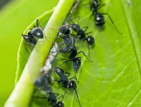Las hormigas son más eficientes que Google