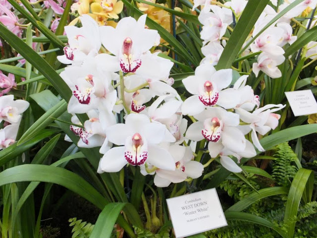 Cymbidium West Down 'Winter White'