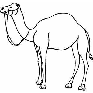 Desenho de camelo diversos para colorir