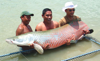 Arapaima : Ikan Monster Amazon di Sumatera Barat