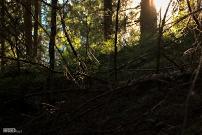 Evening sunlight in pine forest