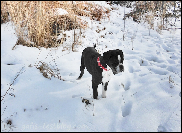 Winterspaziergang - Boxerdame Ivy