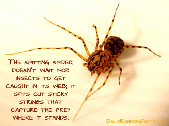 animal facts, facts about animals, interesting animal facts, spitting spiders fact